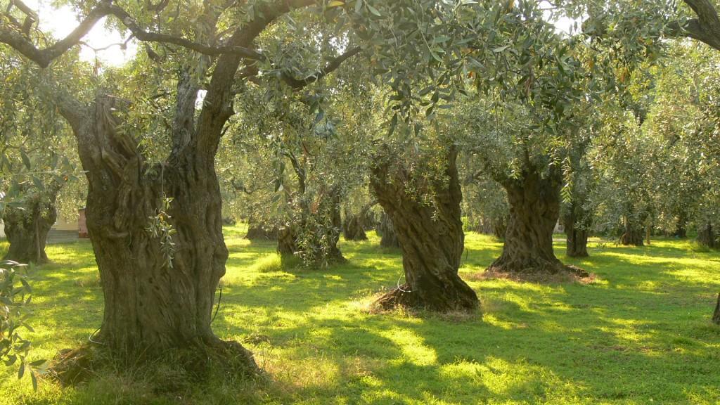 Olive_trees_on_Thassos